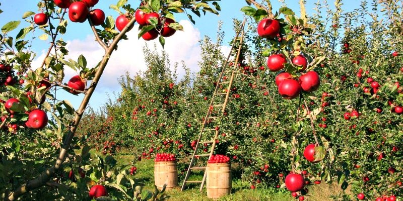 Apple orchard with ladder and barrels of apples